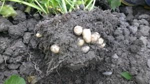 patates-nasil-yetisitirilir