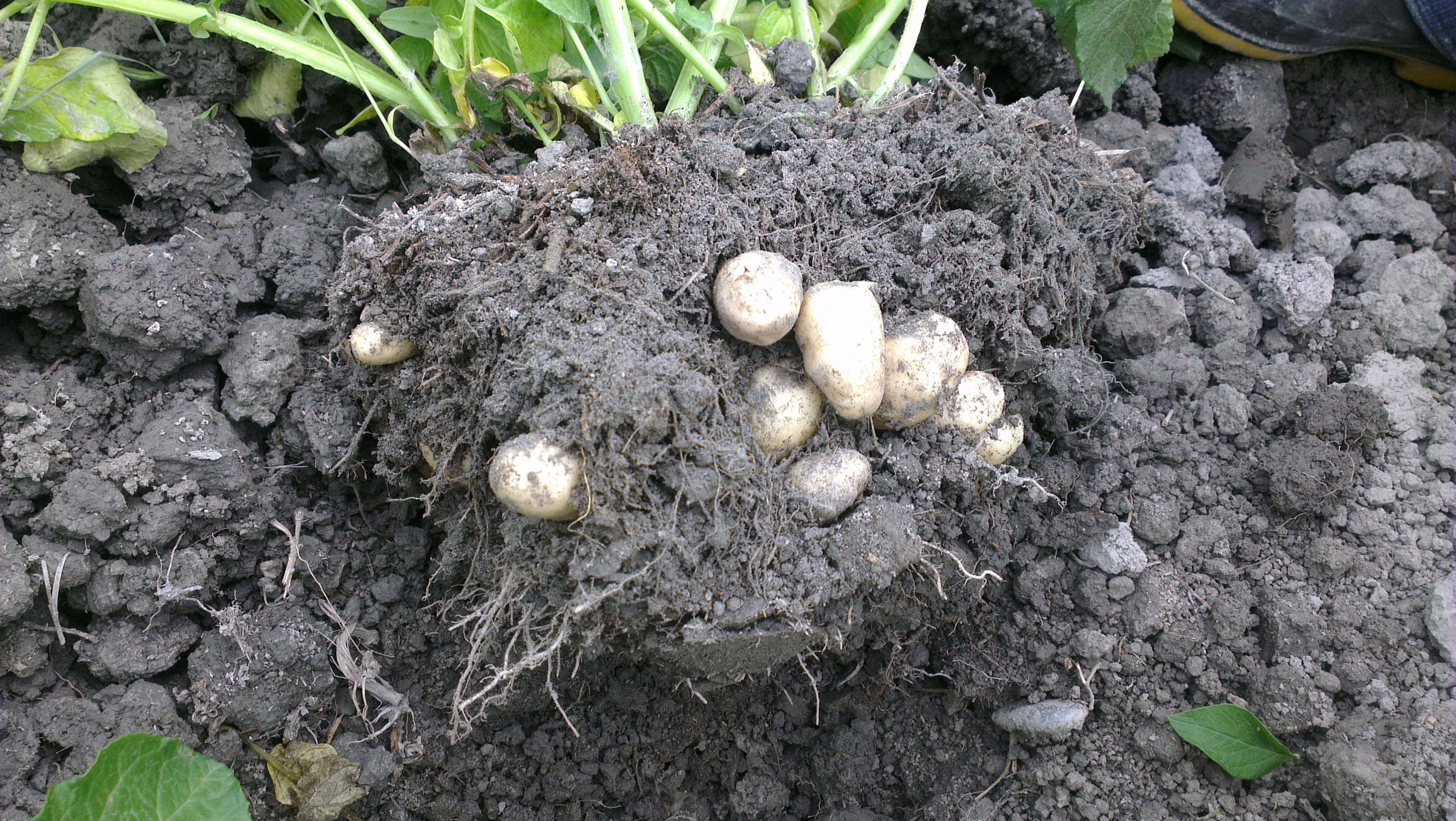 patates nasıl yetiştirilir